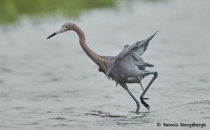 7696 Reddish Egret (Egret rufescens), Galveston, Texas