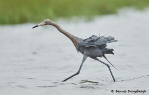 7670 Reddish Egret (Egret rufescens), Galveston, Texas