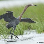 7698 Reddish Egret (Egret rufescens), Galveston, Texas