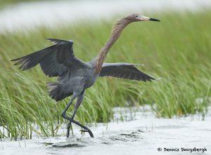 7698 Reddish Egret (Egret rufescens), Galveston, Texas