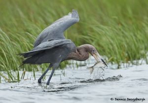 7700 Reddish Egret (Egret rufescens), Galveston, Texas