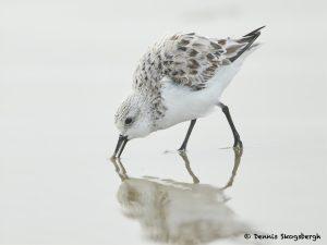 7685 Sanderling (Calidris alba), Galveston, Texas