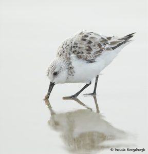 7688 Sanderling (Calidris alba), Galveston, Texas