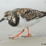 7690 Ruddy Turnstone (Arenaria interpres) Galveston, Texas
