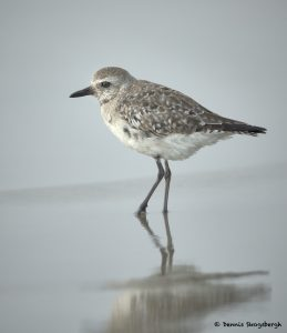 7689 Sanderling (Calidris alba), Galveston, Texas