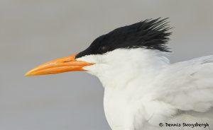 7733 Royal Tern (Thalasseus maximus), Galveston, Texas