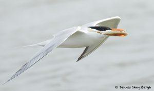 7734 Royal Tern (Thalasseus maximus), Galveston, Texas