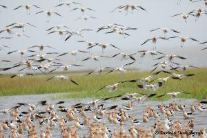 7709 American Avocets (Recurvirostra americana), Galveston, Texas