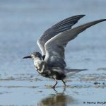 7691 Black Tern (Chlidonias niger), Galveston, Texas