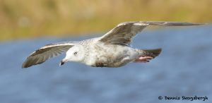 7692 Glaucous Gull (Larus hyperboreus), San Luis Pass, Galveston, Texas