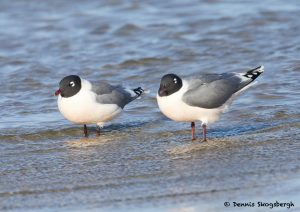 7707 Breeding Franklin's Gull (Leucophaeus pipixcan), Galveston, Texas