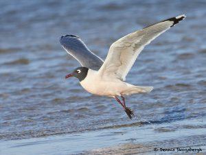 7706 Breeding Franklin's Gull (Leucophaeus pipixcan), Galveston, Texas