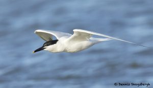 7692 Sandwich Tern (Thalasseus sandvicensis), San Luis Pass, Galveston, Texas