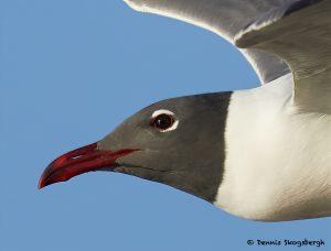 7693 Laughing Gull (Leucopgaeus atricilla), San Luis Pass, Galveston Texas