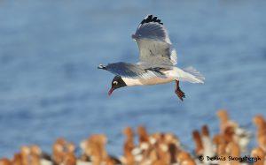 7744 Franklin's Gull (Leucophaeus pipixcan), Galveston, Texas