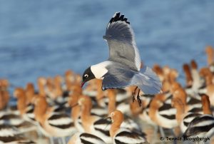 7745 Franklin's Gull (Leucophaeus pipixcan), Galveston, Texas