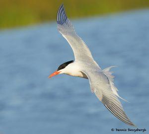 7735 Royal Tern (Thalasseus maximus), Galveston, Texas