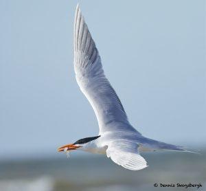 7736 Royal Tern (Thalasseus maximus), Galveston, Texas