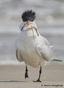 7749 Royal Tern (Thalasseus maximus), Galveston, Texas