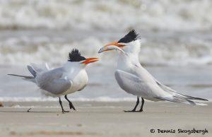 7750 Royal Terns (Thalasseus maximus), Galveston, Texas