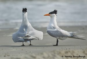7752 Mating ritual, Royal Terns (Thalasseus maximus), Galveston, Texas