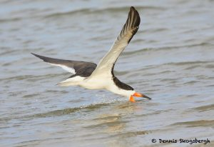 7753 Black Skimmer (Rynchops niger), Galveston, Texas