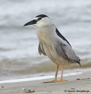 7754 Black-crowned Night Heron (Nycticorax nycticorax), Galveston, Texas