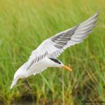 7737 Royal Tern (Thalasseus maximus), Galveston, Texas