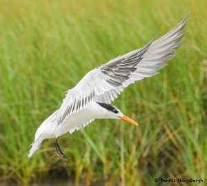 7737 Royal Tern (Thalasseus maximus), Galveston, Texas