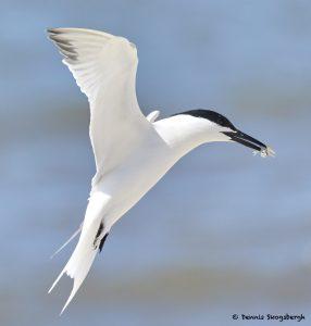 7739 Sandwich Tern (Thalasseus sandvicensis), Galveston, Texas