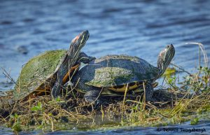 7685 Red-eared Slider Turtles (Trachemys scripta elegans), Anahuac NWR, Texas