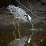 7684 Yellow-crowned Night Heron (Nyctanassa violacea), Anahuac NWR, Texas