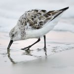 7685 Sanderling (Calidris alba), Galveston, Texas_MG_9636 1