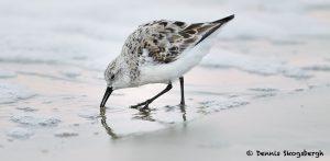 7685 Sanderling (Calidris alba), Galveston, Texas_MG_9636 1