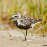 7794 Adult Female Black-bellied Plover (Pluvialis squatarola), Galveston, Texas
