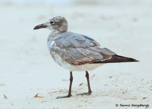 7778 Immature Laughing Gull (Leucopgaeus atricilla), San Luis Pass, Galveston Texas