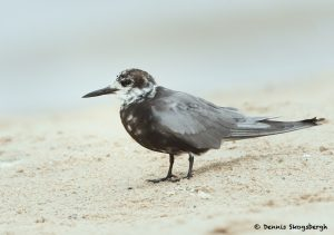 7779 Black Tern (Chlidonias niger), Galveston, Texas