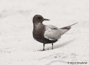 7780 Black Tern (Chlidonias niger), Galveston, Texas