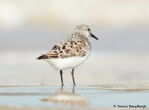 7777 Sanderling (Calidris alba), Galveston, Texas