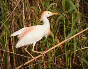 7835 Nesting Cattle Egret (Bubulcus ibis), Anahuac NWR, Texas
