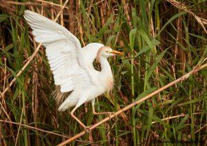 7836 Nesting Cattle Egret (Bubulcus ibis), Anahuac NWR, Texas