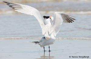 7795 Mating Royal Terns (Thalasseus maximus), Galveston, Texas