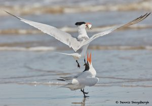 7796 Mating Royal Terns (Thalasseus maximus), Galveston, Texas
