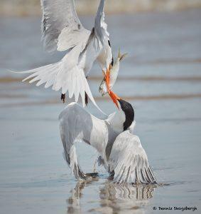 7758 Mating Ritual, Royal Terns (Thalasseus maximus), Galveston, Texas