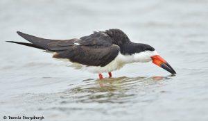 7801 Black Skimmer (Rynchops niger) San Luis Pass, Galveston, Texas
