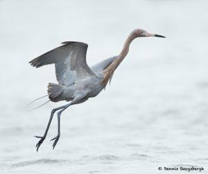 7800 Reddish Egret (Egret rufescens), Galveston, Texas
