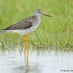 7790 Greater Yellowlegs (Tringa melanoleuca), Galveston, Texas