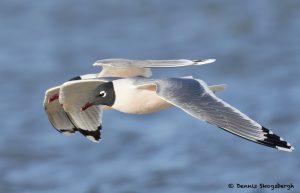 7708 Breeding Franklin's Gulls (Leucophaeus pipixcan), Galveston, Texas
