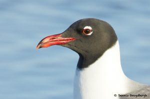 7799 Laughing Gull (Leucopgaeus atricilla), San Luis Pass, Galveston Texas