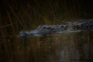 7771 American Alligator, Anahuac NWR, Texas